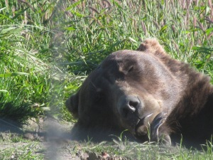 A Grizzly Bear at the Alaska Wildlife Conservation Center naps in the morning sun.    Notice the size of his mouth and claws!