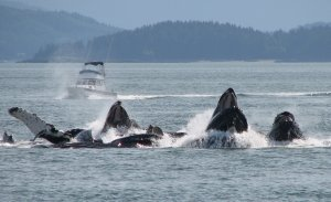 A group of Humpback Whales surface while Bubble Net Feeding.  (Photo credit- Fay Schaller)