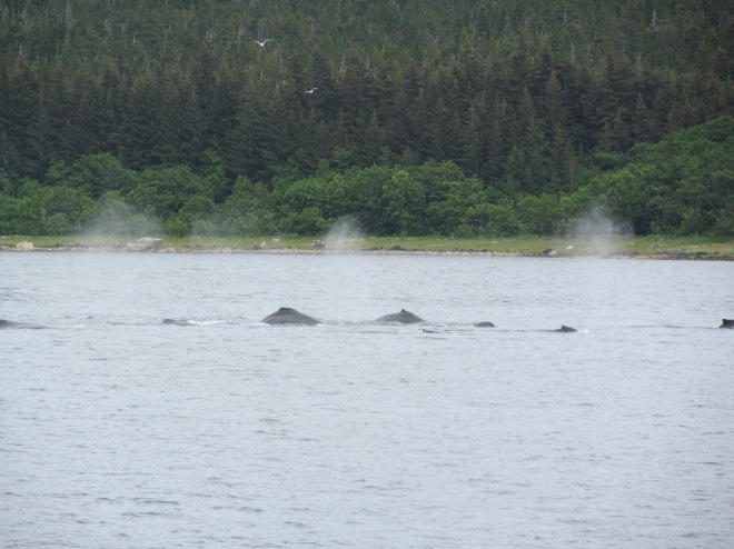 A group of Humpback Whales swims in the waters near Juneau, Alaska