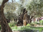 Olive trees in the Garden of Gethsemane.  Some may have been alive when Jesus prayed there over 2,000 years ago!