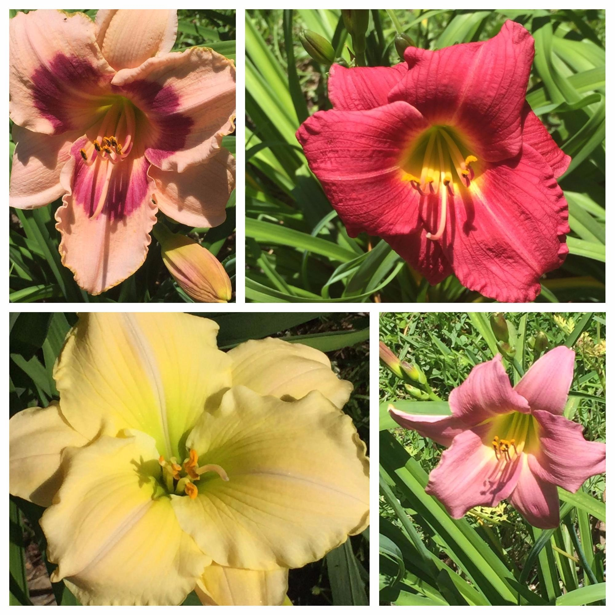 daylily collage